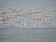 Sea gulls at Vagator