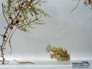 sargasso weed bermuda