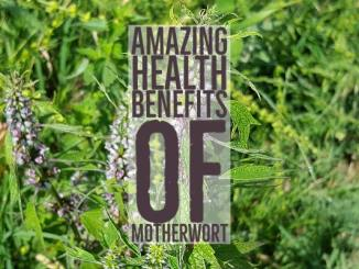 Amazing Health Benefits Motherwort