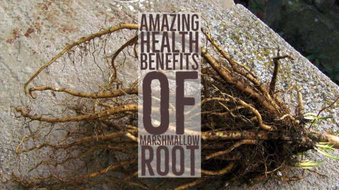 Amazing Health Benefits Marshmallow Root