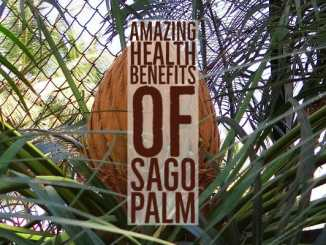 Amazing Health Benefits Sago Palm