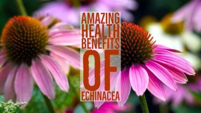 Amazing Health Benefits Echinacea