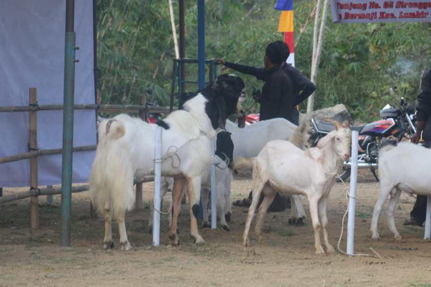 kontes kambing etawa