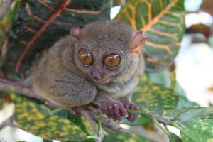 Bohol tarsier monkey