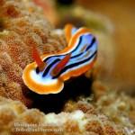 Philippine fun divers nudibranch 15 1024x766