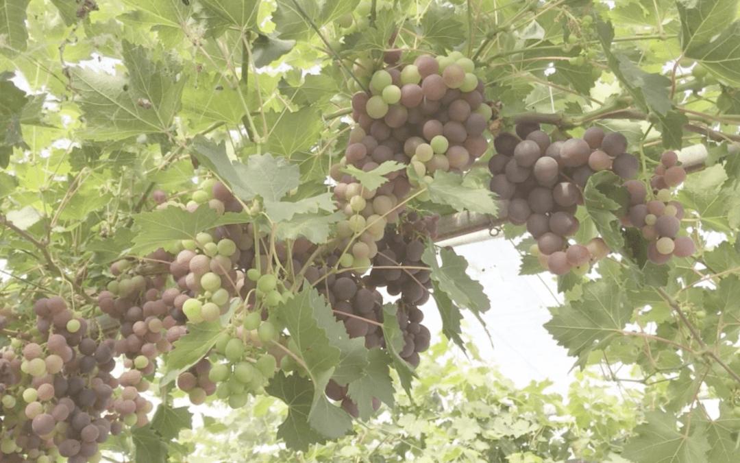 Découvrez notre raisin de table