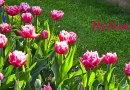 Настоящие голландские тюльпаны. Часть 1. Откуда они взялись?