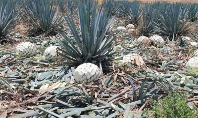 agave-desechos