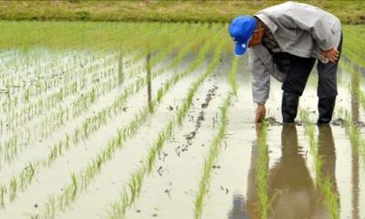 arroz por aspersión