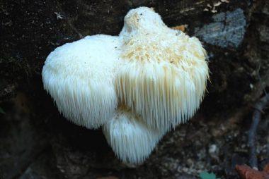 Hericium americanum