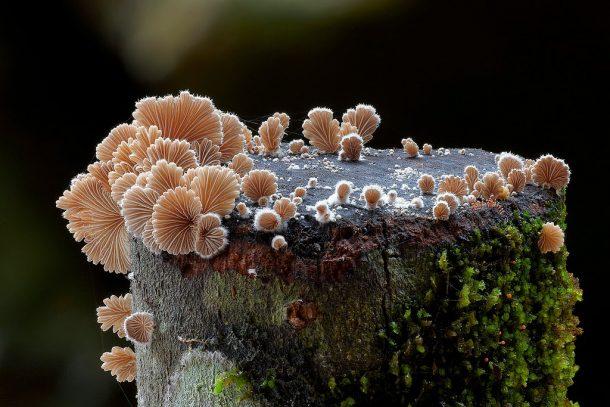 Schizophyllum commune_1