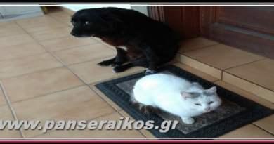 mavris_gata_panseraikos.gr