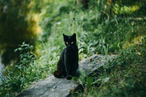 Krafttier Katze, Das Krafttier Katze