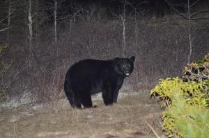 April 12, 2014 - Black Bear Close Encounter on Little Green Mountain in Panthertown (Photo submitted by Jack Tamorski)