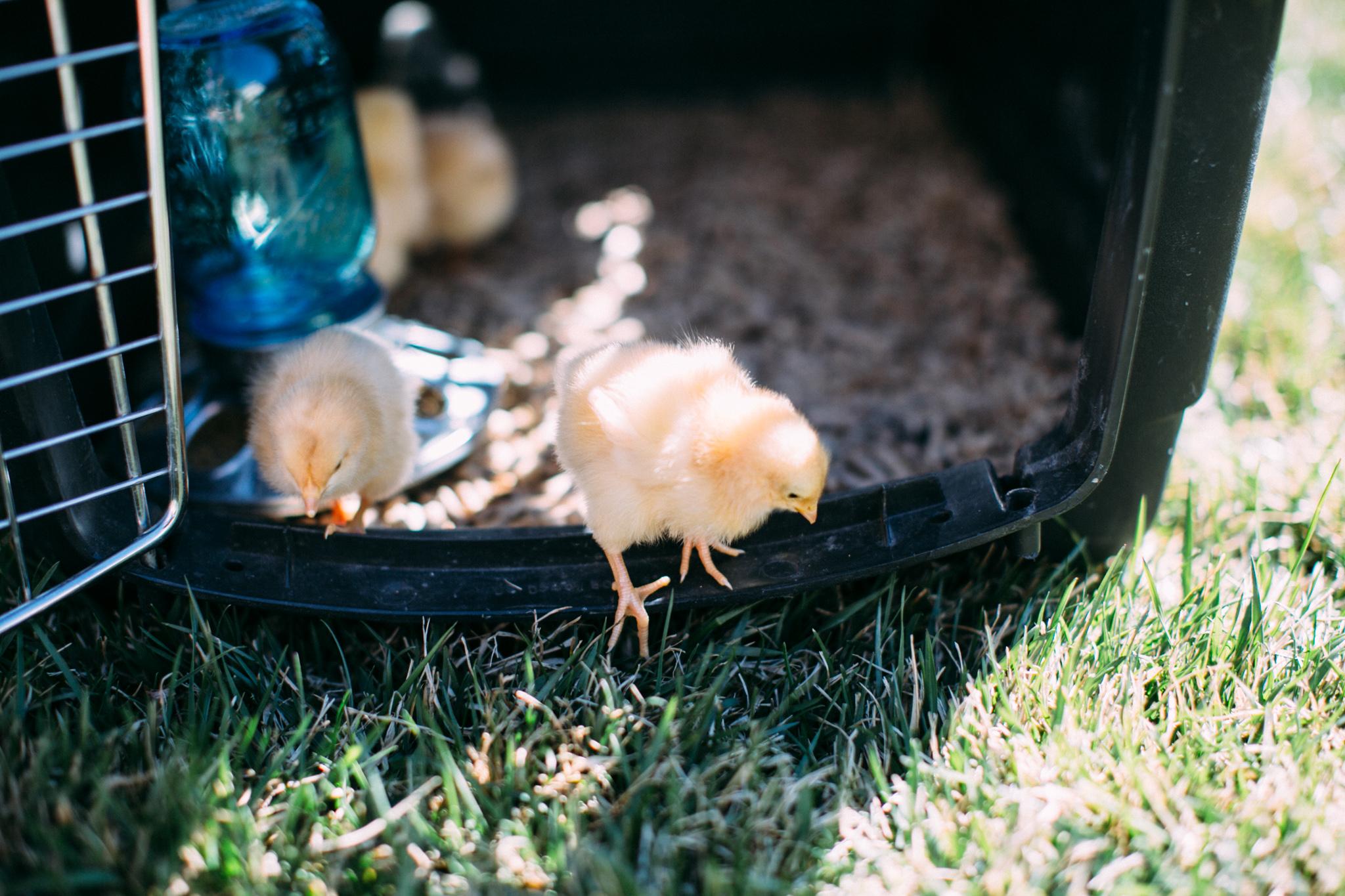 0328 chicks-001