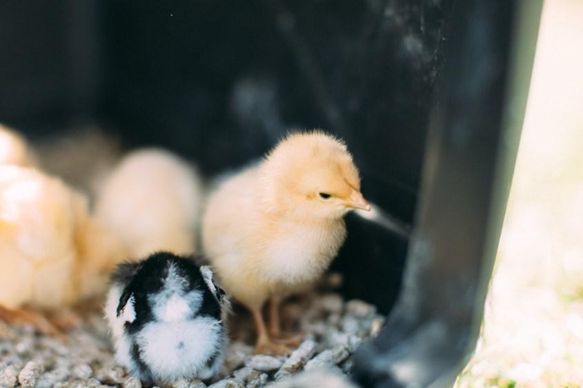 0328 chicks-018