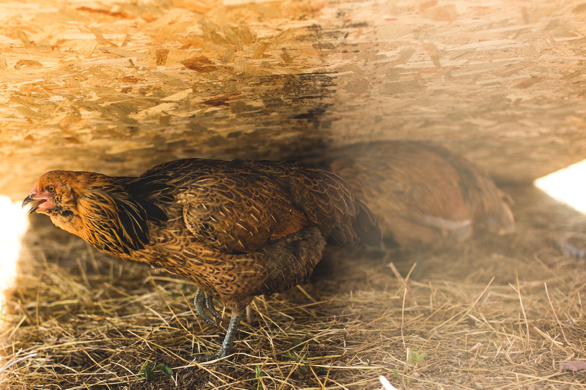 0830 chicks-017