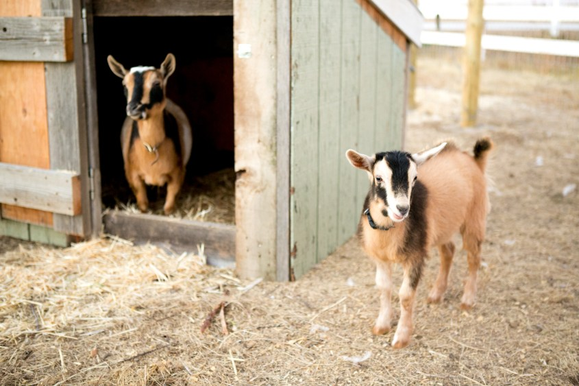 0926 goats-007