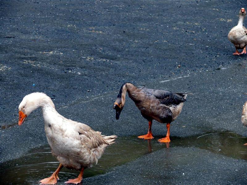 gansos-de-paseo-por-a-ramalleira-pantin-f-goiriz-17-03-08-010-2.jpg