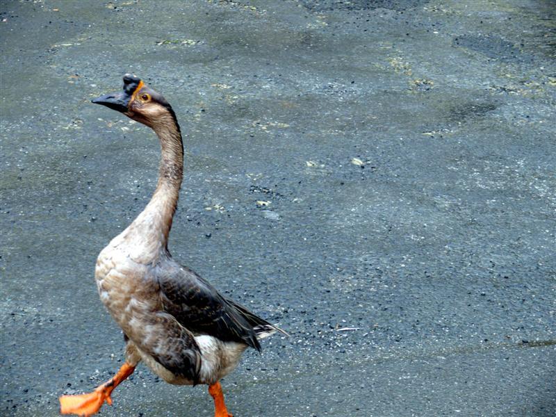 gansos-de-paseo-por-a-ramalleira-pantin-f-goiriz-17-03-08-010.jpg