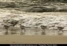 Correlimos común o playero común (Calidris alpina) - Playa de A Magdalena (Cedeira) diciembre 2101 - fotografía por Fermín Goiriz (3)