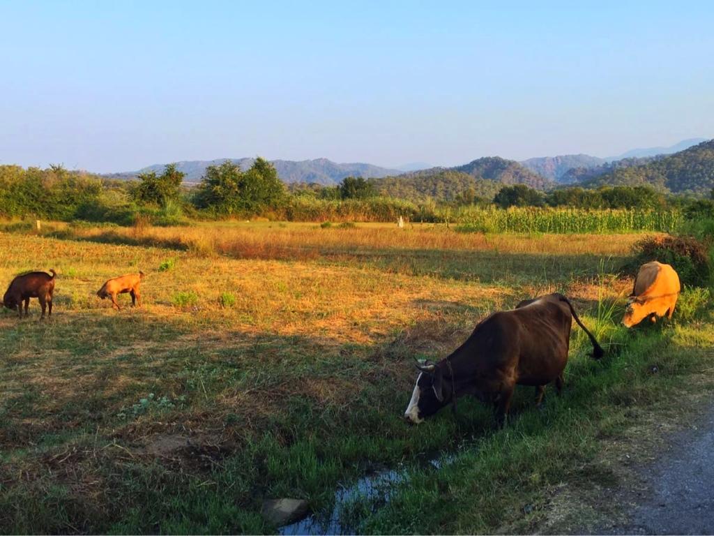 Yanilar cows