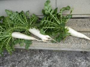 収穫してすぐの大根