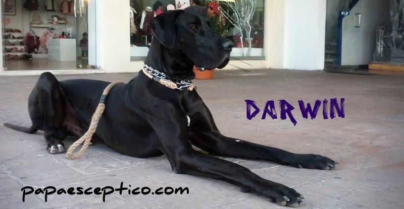 darwin-the-grate-dane