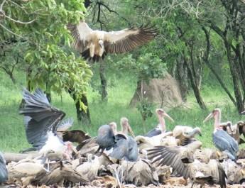 Geier und Marabus streiten sich um die Beute