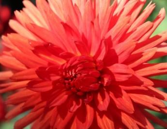 Knallrote, üppige Dahlienblüte