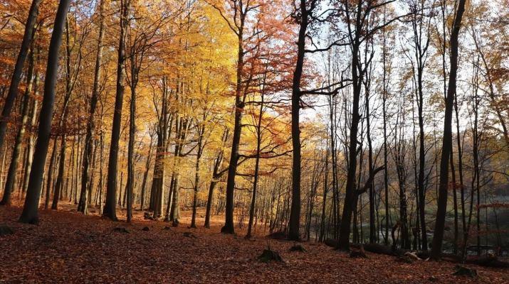 Herbststimmung im Buchenwald bei Grumsin