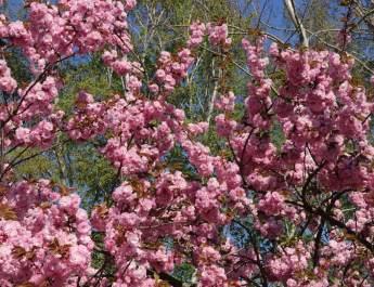 Mitte bis Ende April blühen die Kirschbäume in Lichterfelde