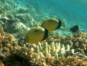 Ein Pärchen Falterfische am Riff