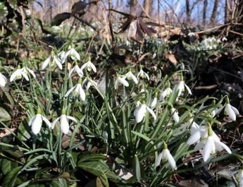 Im Schlosspark Uebigau blühen im Frühjahr viele Schneeglöckchen