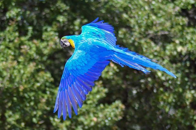 fliegender papagei