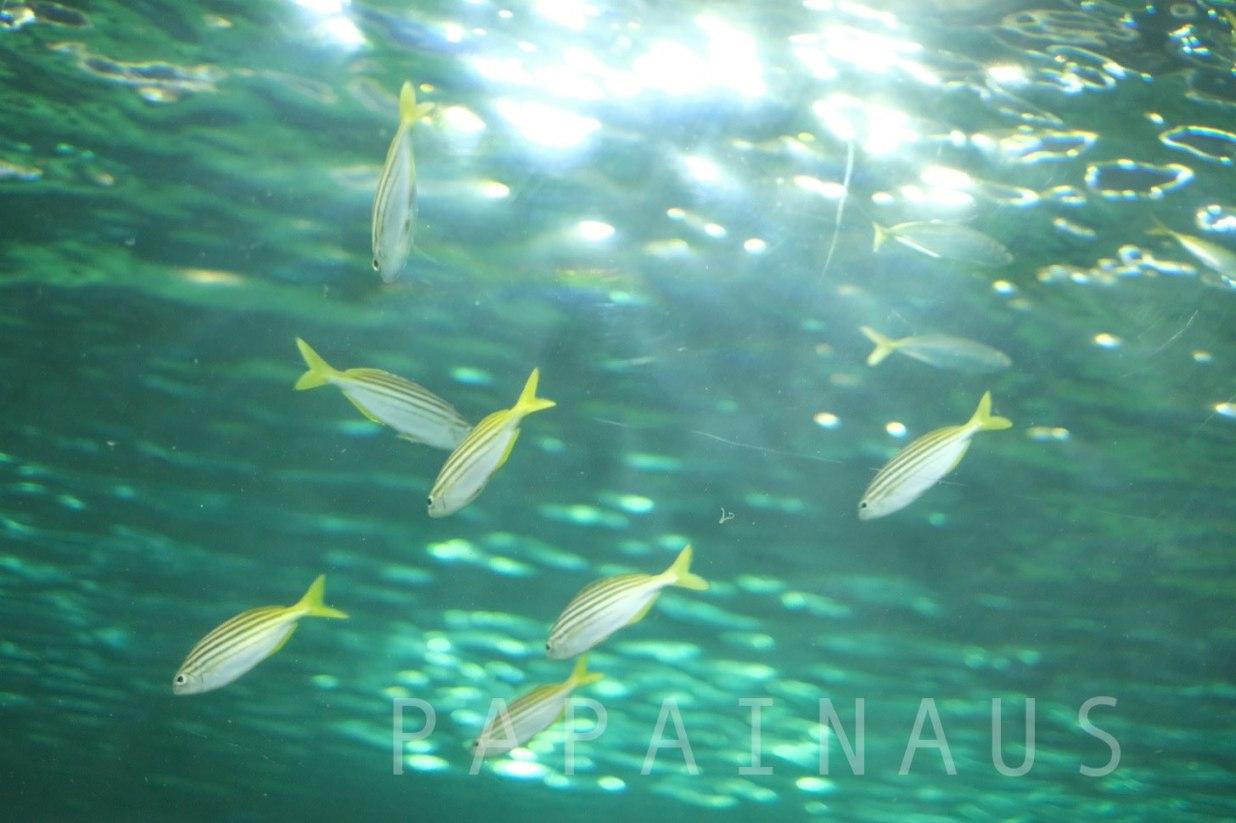 シーライフ黄色の魚