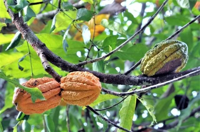 コートジボワールの高品質カカオ豆
