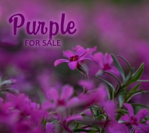 purple Paparazzi facebook album cover image