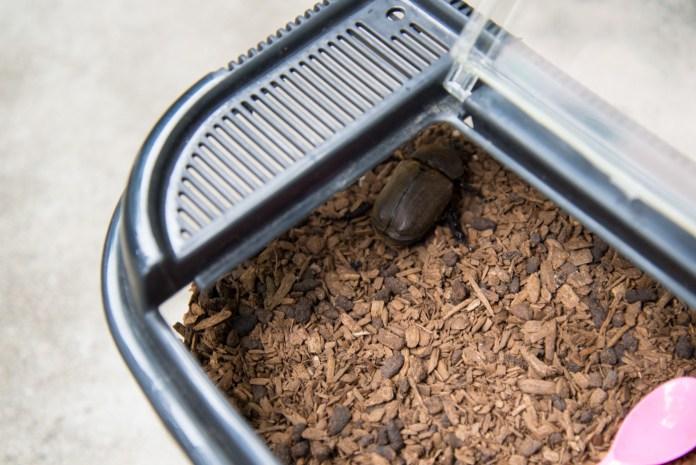 3歳、初めてのカブトムシの飼育(成虫編) 土の中から成虫が出て来た!