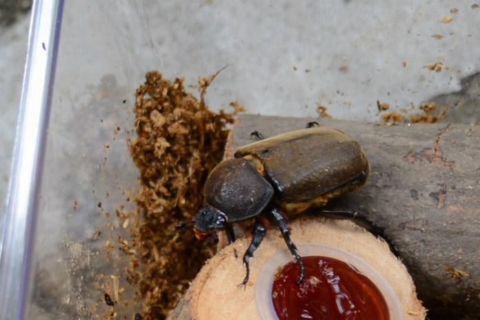 3歳、初めてのカブトムシの飼育(成虫編) カブトムシのアップ。メスです。