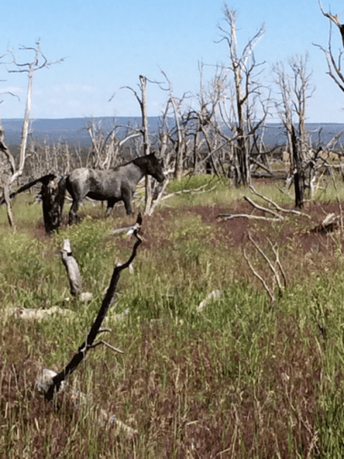 These are not wild horses but feral horses who have escaped from natives living in the area. They are becoming a problem because they use the resources that are for wild elk and deer.