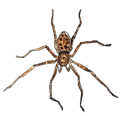 speckled spider