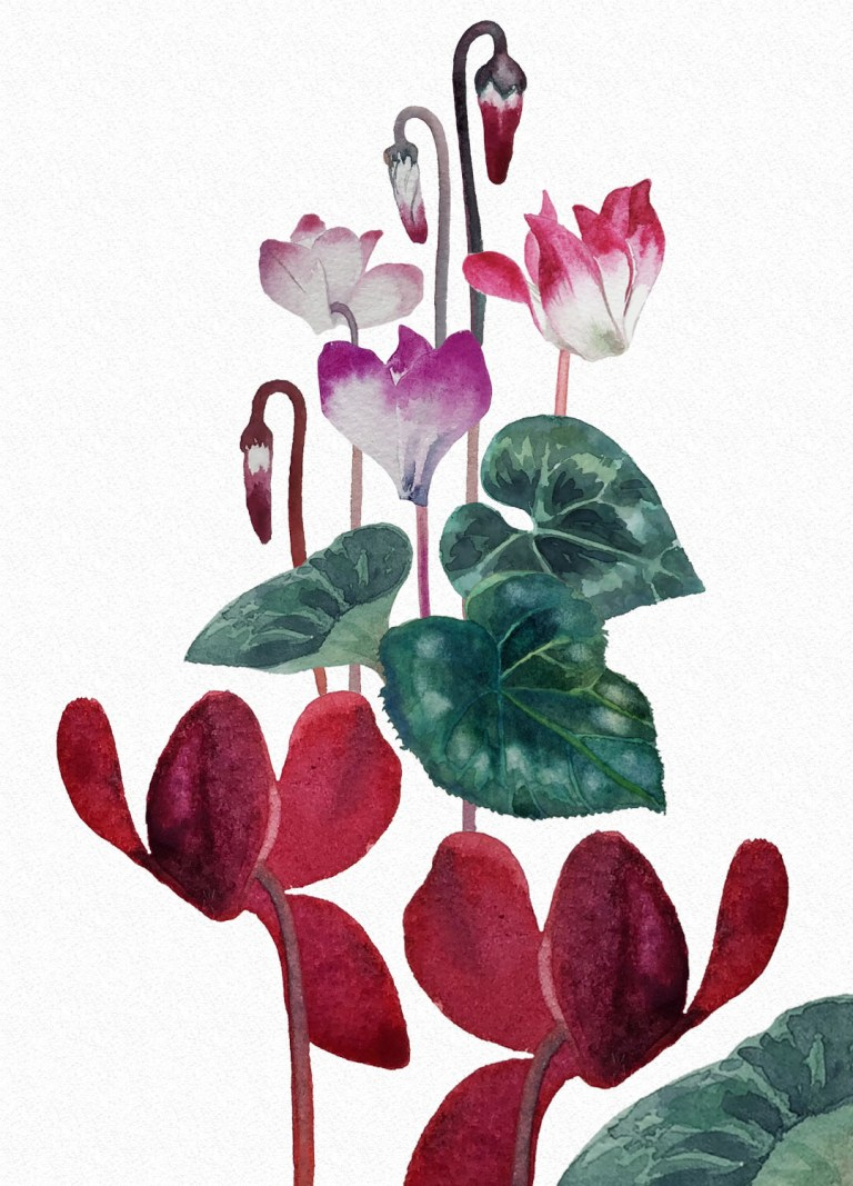 watercolour illustration - cyclamens
