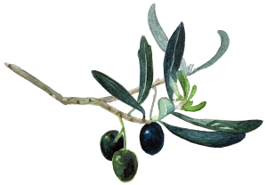 olive branch with 3 olives