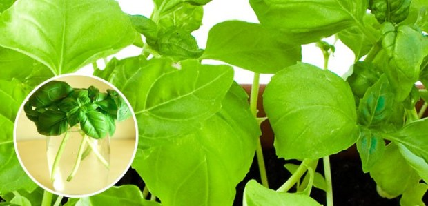 regrow basil free cheap