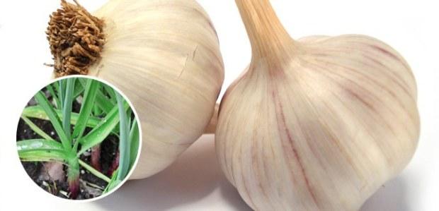 regrow garlic free cheap
