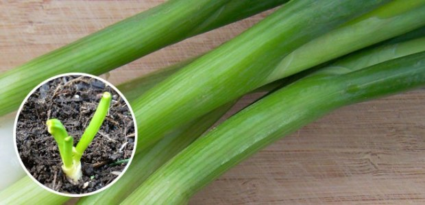 regrow spring onions free cheap