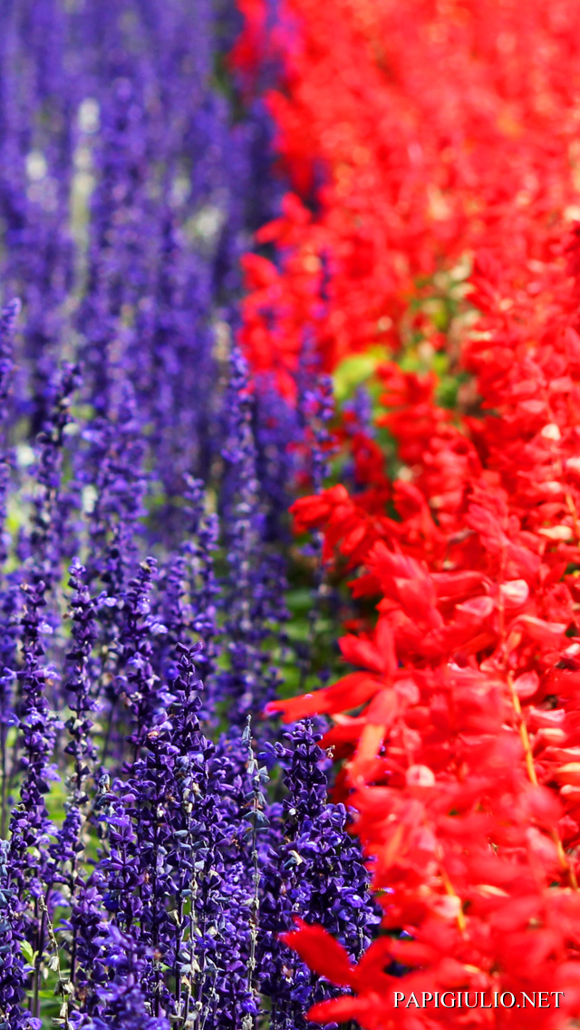 Free Japanese iPhone wallpaper download Hokkaido Flowers