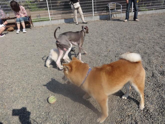 柴犬と仲間たち