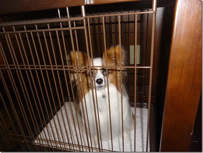 ウブドの森の客室内のケージに閉じ込められるあ愛犬パピヨンのアリア